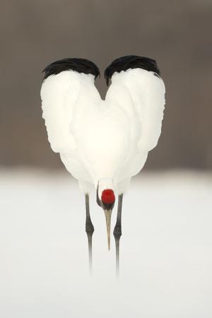 https://imgc.allpostersimages.com/img/posters/japanese-crane-grus-japonensis-displaying-wings-in-heart-shape-hokkiado-japan-february_u-L-Q13AB8L0.jpg?p=0