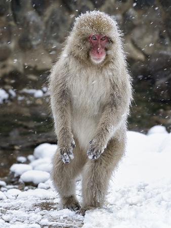 https://imgc.allpostersimages.com/img/posters/japanese-macaque-macaca-fuscata-female-standing-on-hind-legs-in-snow-jigokudani-japan-february_u-L-Q13AB7L0.jpg?p=0