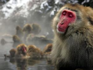Japanese Macaque Monkeys in a Hot Spring in the Snow at Jigokudani Wild Monkey Park, Nagano