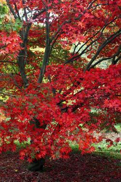 Japanese Maple Autumn Colour at Winkwort Arboretum