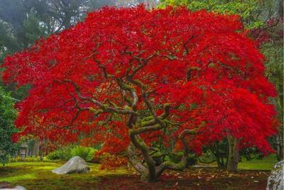 https://imgc.allpostersimages.com/img/posters/japanese-maple-in-autumn_u-L-Q1CARB90.jpg?artPerspective=n