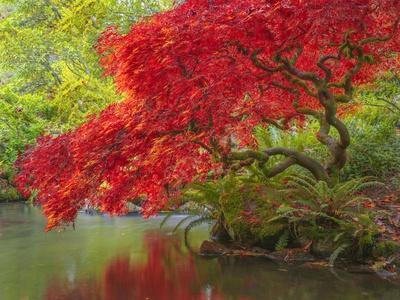 https://imgc.allpostersimages.com/img/posters/japanese-maple-over-water_u-L-Q1CAQ3B0.jpg?artPerspective=n