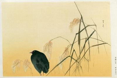 Blackbird, Edo Period