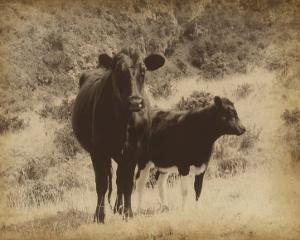 Lone Star Cows I by Jarman Fagalde