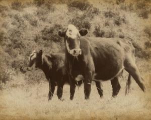 Lone Star Cows II by Jarman Fagalde