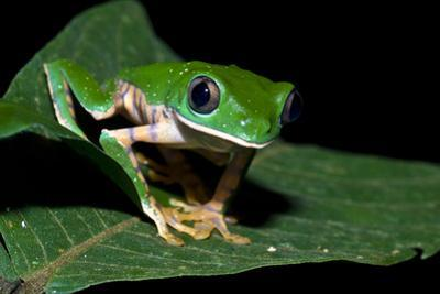 A Bright Green Barred Leaf Frog Perched on an Inga Leaf in the Rainforest at Night by Jason Edwards