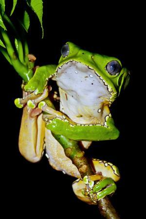 A Bright Green Giant Leaf Frog Holding onto a Rainforest Plant Stem Using its Long, Wide Toe Pads by Jason Edwards