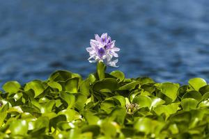 A Bright Purple Flower Above the Dense Growth of Invasive Water Hyacinth by Jason Edwards