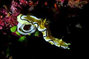 A Bright Yellow Nudibranch Laying a Spiral Egg Case on a Coral Reef by Jason Edwards