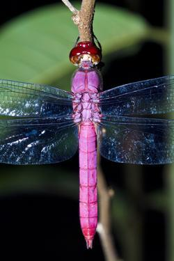 A Delicate Pink Skimmer Dragonfly Roosting on a Twig in the Amazon Rainforest at Night by Jason Edwards