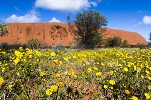 A Field of Yellow Schoenia Ayersii Flowers Carpet the Desert at the Base of Uluru by Jason Edwards