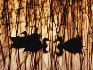 A Group of Silhouetted Mallards Swims Among Reeds at Sunset by Jason Edwards