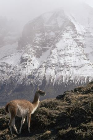 A guanaco standing against a background of the snow-peaked Andes. by Jason Edwards