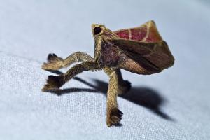 A Hairy Moth with Red Velvet Wings Clinging to the Side of a Tent in the Amazon Rainforest by Jason Edwards