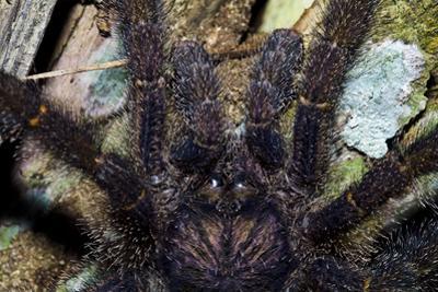 A Hairy Peruvian Pinktoe Tarantula Hunting for Prey on a Tree Trunk at Night by Jason Edwards