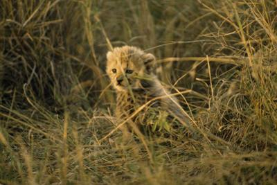 A less than three-week-old vulnerable cheetah cub in sunlit grass. by Jason Edwards