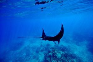 A Manta Ray Glides over a Reef Near the Surface of a Tropical Ocean by Jason Edwards