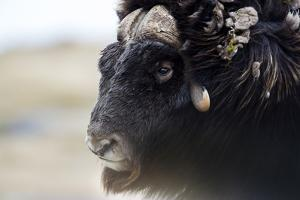 A Musk Ox with a Huge Shaggy Coat on the Windy Tundra by Jason Edwards