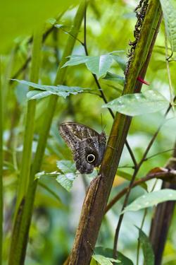 A Owl Butterfly Roosting on the Trunk of a Rainforest Plant in the Understory by Jason Edwards