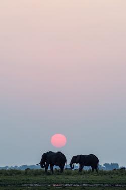 A Pair of African Elephants Grazing on a Wetland Island Beneath the Setting Sun by Jason Edwards