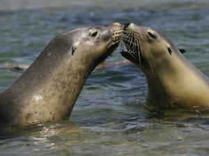 A Pair of Australian Sea Lions Greet One Another by Jason Edwards