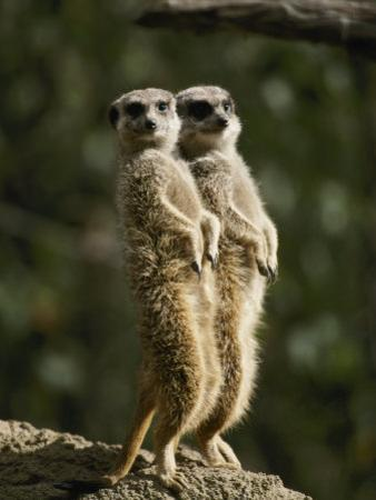 A Pair of Meerkats Keep a Double Watch on Things