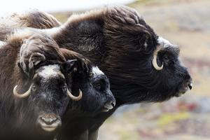 A Pair of Musk Ox Protect a Calf by Standing Either Side of It by Jason Edwards