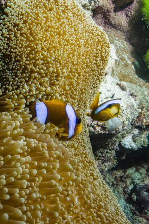 A Pair of Orange-Finned Anemone Fish Defending their Anemone by Jason Edwards
