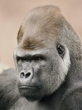 A Portrait of a Western Lowland Gorilla by Jason Edwards