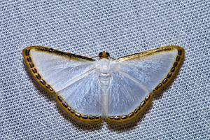 A Rim of Golden Scales Lines the Wings of a White Moth Resting on a Tent in the Amazon Rainforest by Jason Edwards