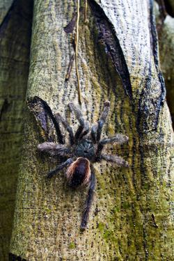 A Rose Haired Tarantula Ascending a Tree Trunk in the Amazon Rainforest by Jason Edwards