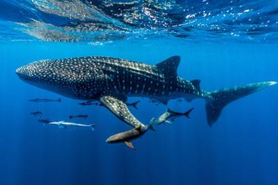 A School of Suckerfish, Sharksuckers and Cobia Follow a Whale Shark by Jason Edwards