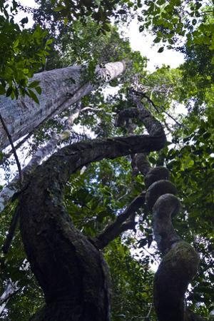 A Spiral Paujil Chaqui Water Vine Descending from the Rainforest Canopy Transports Upward by Jason Edwards