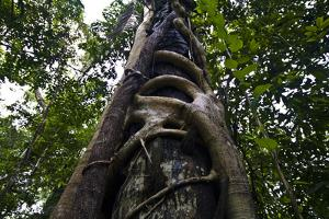 A Strangler Fig Wraps Large Woody Fingers around the Trunk of a Rainforest Tree for Support by Jason Edwards