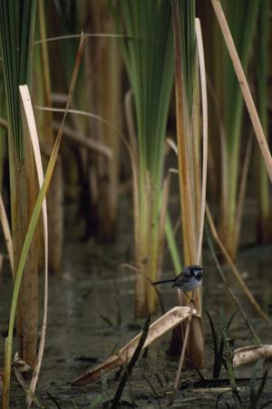 A Superb Fairy Wren (Malurus Spendens) Perches in a Growth of Tall Reeds