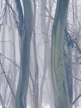A Thicket of Gum Trees in a Snowy Winter Landscape by Jason Edwards