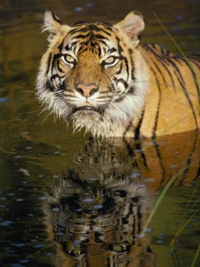 A Tiger Glares Directly into the Camera by Jason Edwards