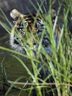 A Tiger Peers out from Behind a Bunch of Grass by Jason Edwards