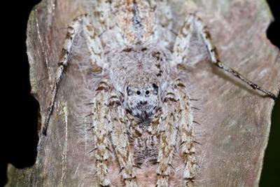A White-Downy Philodromus Crab Spider Camouflaged on a Dry Leaf Waits to Ambush Prey by Jason Edwards