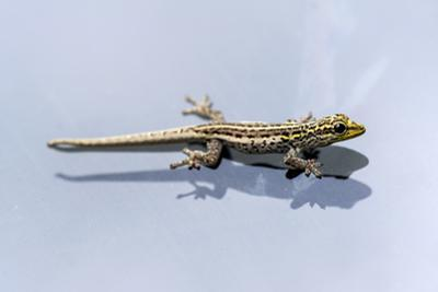 A Yellow-Headed Dwarf Gecko Clinging to the Glass of a Vehicle Windshield by Jason Edwards