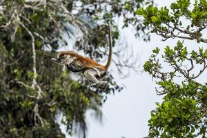 A Zanzibar Red Colobus Mother Leaps Between Canopy Trees with Her Baby in a Coral Rag Forest by Jason Edwards