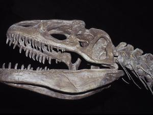 Allosaurus Skeleton Skull, Jaws and Teeth, against a Black Background by Jason Edwards