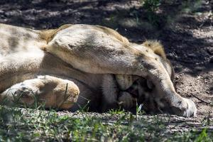 An African Lion Shelters its Face from Pest Flies and the Bright Sun Whilst it Sleeps by Jason Edwards