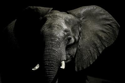 An Alert African Elephant with its Ears Spread by Jason Edwards