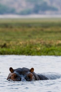 An Alert and Aggressive Nile Hippopotamus Surfaces When a Boat Approaches Too Closely by Jason Edwards