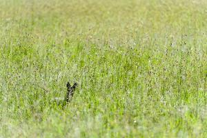 An Alert Black-Backed Jackal Pokes Up Above Seeding Grasses While Hunting on a Savannah Plain by Jason Edwards