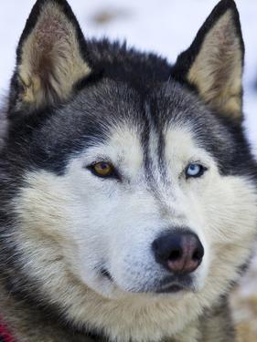 An Alert Siberian Husky Sled Dog with Both a Blue and a Brown Eye by Jason Edwards