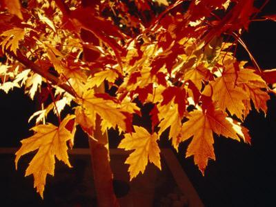 Bright Orange Maple Leaves Illuminated by Artificial Garden Lighting by Jason Edwards