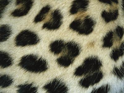 Close View of Persian Leopard Fur Markings