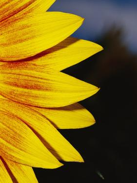 Close View of the Petals of a Sunflower by Jason Edwards
